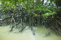 森林美洲红树 库存照片