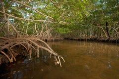 森林美洲红树 库存图片