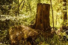 森林老树桩 免版税库存图片