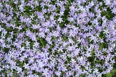 森林花, flox 明亮的颜色背景,特写镜头 库存图片