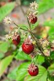 森林草莓 免版税库存图片