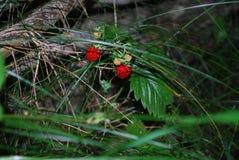 森林莓果 免版税库存照片