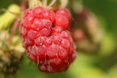 森林莓 免版税库存图片
