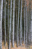 森林落叶松属 免版税库存图片