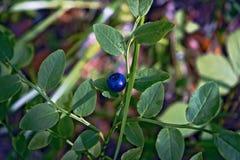 森林蓝莓的莓果 库存照片