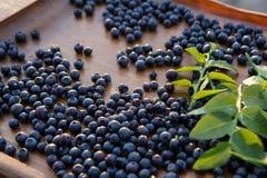 森林蓝莓 免版税库存照片