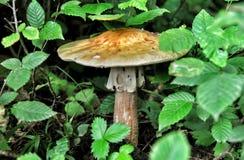 森林蘑菇伞菌 免版税库存图片