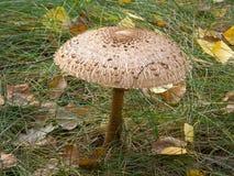 森林蘑菇伞 免版税库存图片