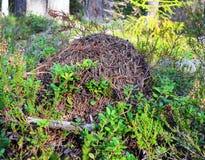 森林蚂蚁小山 库存照片
