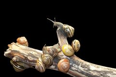 森林蜗牛, Cepaea nemoralis 免版税库存照片