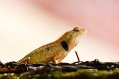 森林蜥蜴雨通配的泰国 免版税库存照片