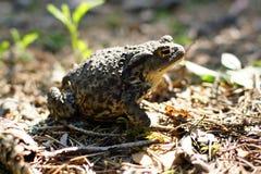 森林蟾蜍准备跳,太阳照亮一块小沼地 库存图片