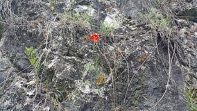 森林西伯利亚人的野生百合 库存照片