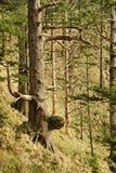 森林西北和平的雨 库存照片