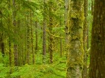 森林西北雨 库存图片