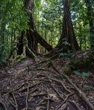 森林足迹在瓜德罗普 库存照片
