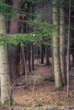 森林边缘入口树干密集的地面树秋天寒冷Dramati 免版税库存图片