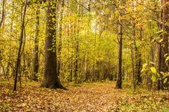 森林道路在杉木森林用秋叶盖 免版税库存照片