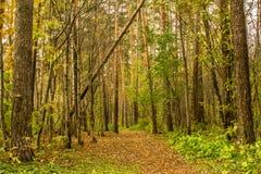 森林道路在杉木森林用秋叶盖 免版税图库摄影