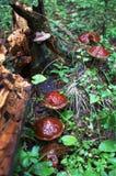 森林采蘑菇雨 图库摄影