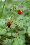 森林野草莓莓果  免版税库存图片