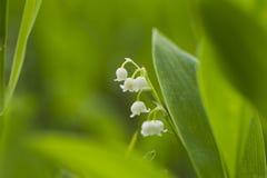 森林铃兰自然光 图库摄影