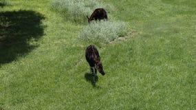 森林长颈鹿在绿草,南非吃草 免版税图库摄影