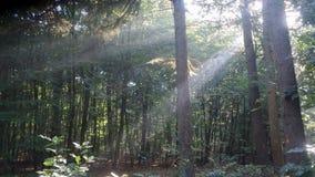 森林阳光光芒的 库存图片