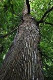 森林雨豆树 免版税库存照片