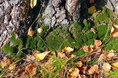 森林青苔 免版税库存图片