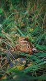 森林青蛙在森林里,森林居民,乡村生活 免版税库存图片