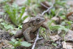 森林青蛙 免版税库存照片