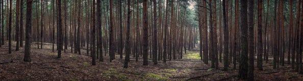 森林风景、杉木森林和青苔 森林的大全景 库存照片