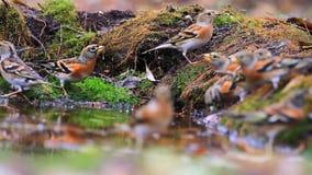 森林鸟饮用水群和秋天木头 影视素材