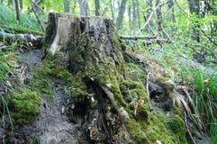 森林,白杨树9月,橡木,路 库存图片