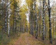 森林,秋天,自然,风景,树,树,秋天,森林,公园,绿色,季节,杉木,木头,叶子,雾,路,桦树,光, pa 免版税库存图片