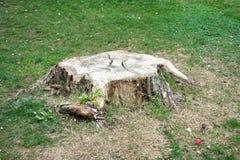 森林绿叶采蘑菇树桩结构树 免版税图库摄影