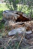 森林绿叶采蘑菇树桩结构树 免版税库存图片