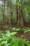 森林绿叶 免版税库存图片