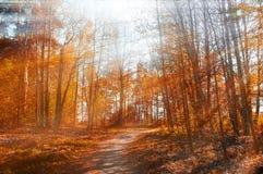 森林晴朗的秋天风景-秋天行染黄了树在秋天阳光下 免版税库存照片