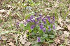 森林紫色中提琴植物的野花的布什 库存照片
