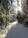 森林滑雪跟踪冬天 免版税库存照片