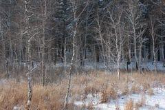 冻森林 图库摄影