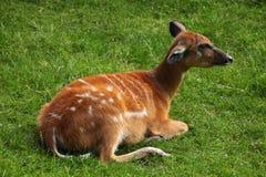 森林sitatunga (非洲羚羊类spekii gratus) 免版税库存照片