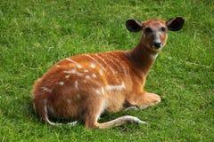 森林sitatunga (非洲羚羊类spekii gratus) 免版税图库摄影