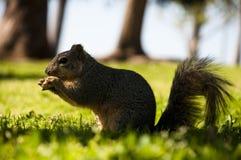 森林squirell 免版税图库摄影