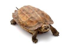 森林sulawesi乌龟 图库摄影