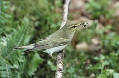 森莺, Phylloscopus sibilatrix 免版税库存图片
