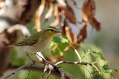 森莺, Phylloscopus sibilatrix 库存图片