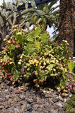 60 01棵典型的黄雀色植物,仙人掌,仙人球 免版税库存图片